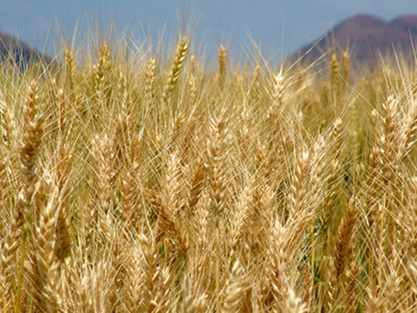 ارتفاع انتاج القمح الى 3 ملايين طن خلال الموسم الحالي