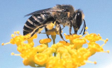 النحل الطنان يستطيع التفكير بشكل منطقي ويستخدم هذا التفكير للوصول إلى غذائه!!!