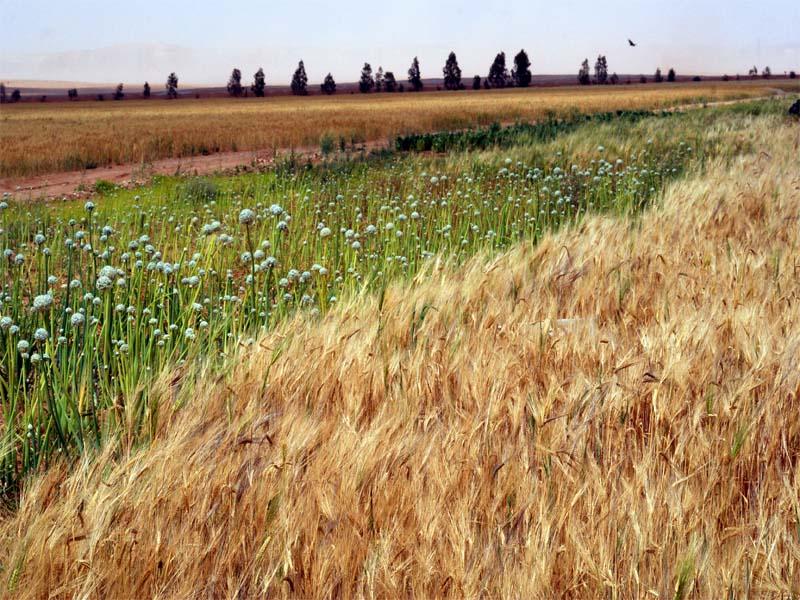 وزارة التجارة العراقية تعلن عن تسويق اكثر من 752 الف طن من القمح والشعير حتى هذه اللحظة..