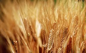 السليمانية تؤكد حصول زيادة في  نسبة محصول القمح مقارنةً بالعام الماضي