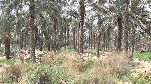 مزارعو البصرة يطالبون بإنقاذ النخيل من التجريف
