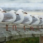 800px-NeuseelandSeagulls