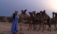 موريتانيا:1500 جمل ضمن فعاليات استقبال قادة القمة العرب