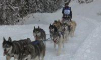 تحد بين 500 كلب على جبال الألب