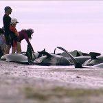 إنقاذ عشرات الحيتان بعد نفوق المئات بشواطئ نيوزيلندا