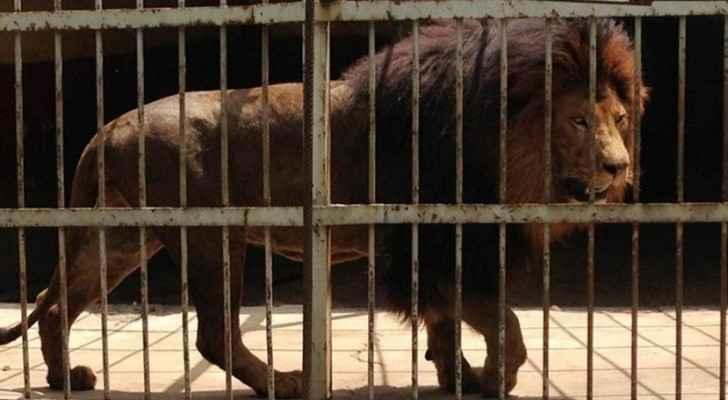 إجلاء أسود ونمور ودببة من سوريا إلى الأردن