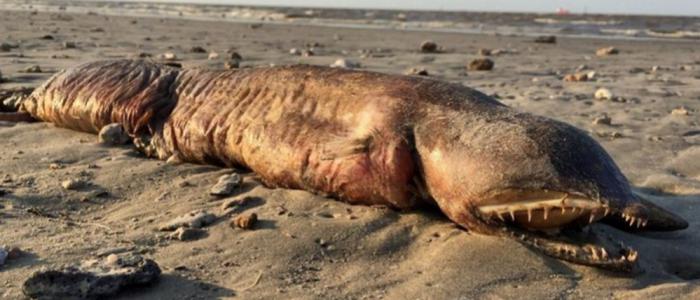 حيوان غريب يحير العلماء جرفه إعصار تكساس