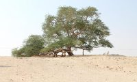 في البحرين..شجرة عمرها 400 عام ولازالت خضراء