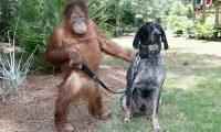 """تقرير: 104 آلاف حيوان من """"إنسان الغاب"""" موجود على مستوى العالم"""
