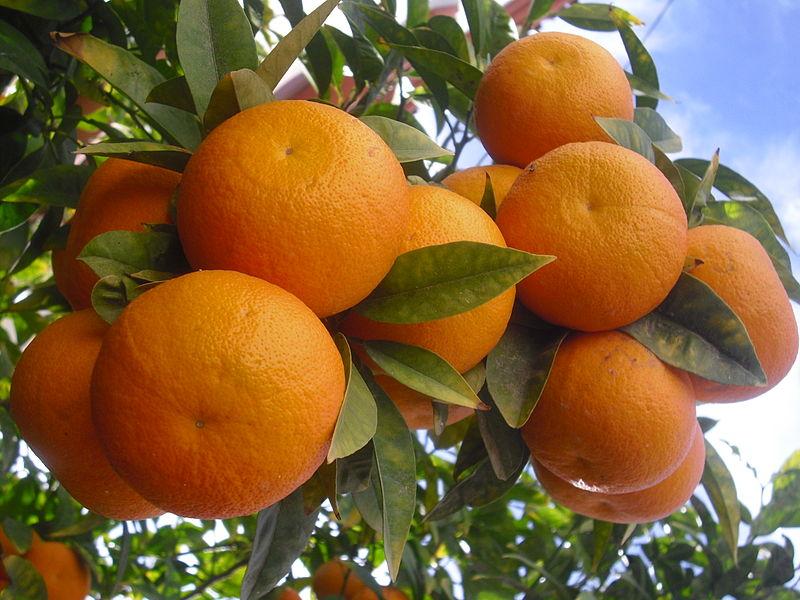 الاحصاء الزراعي:البرتقال الأكثر انتاجا من بين الحمضيات عام 2018
