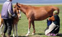 حليب الخيول مصدر غذائي لشعب كازاخستان