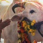 البقر في الهند يثير قلق المزارعين