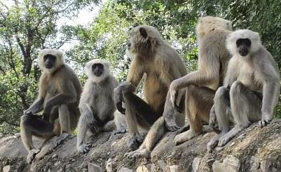 هندي قتلته القردة