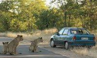"""هروب جماعي للأسود من حديقة """"كروغر"""" في جنوب أفريقيا"""