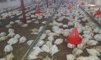 وزارة الزراعة تبرىء عملاء إيران من هلاك أكثر من 55 ألف دجاجة