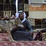 أسرة سعودية تعيش مع الذئاب منذ 11 عاما