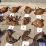 الصين:الحيوانات النافقة من أسباب أنتشار فايروس كورونا