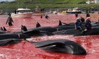 """مذبحة في البحر.. عودة موسم """"نحر الحيتان"""""""