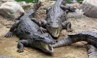 """أستراليا عاجزة على طرد حوت من """"نهر التماسيح"""""""